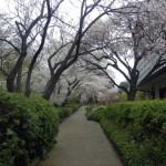 桜タワーわき道。