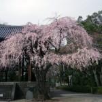 芝増上寺 しだれ桜!