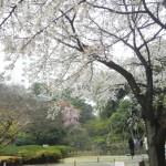 桜タワー池前。満開宣言!